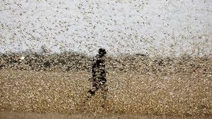 Una feromona «irresistible» es la que provoca las plagas de langostas