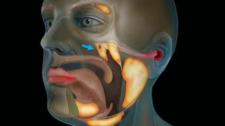 """Científicos descubren un nuevo órgano en nuestras cabezas por casualidad: las """"glándulas tubarias"""""""